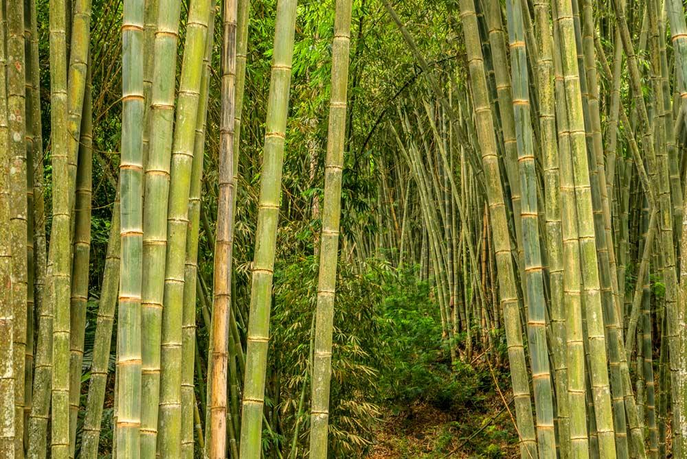 Cañas de bambú gigantes. Detalle de los troncos.