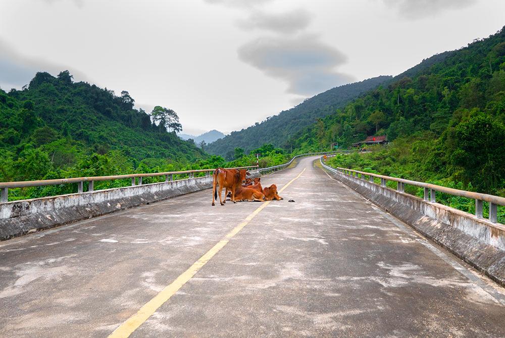 Vacas descansado en medio de la Ho Chi Minh highway - Viajar en moto por Vietnam