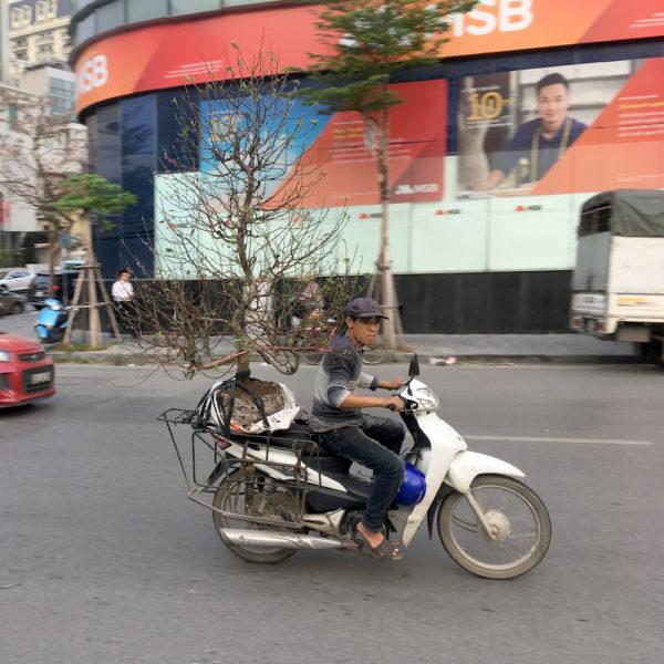 Un chico lleva un árbol en la parte de atrás de la moto. Motos en Asia.
