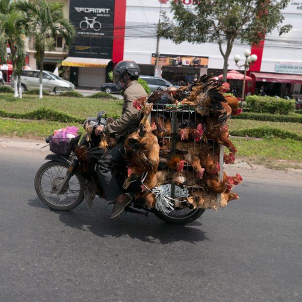 Una moto llena de gallos en condiciones muy malas. Habrá 40 gallos. Motos en Asia.
