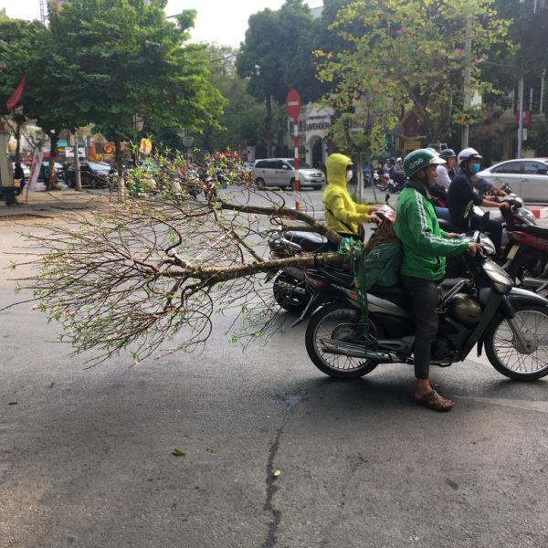 Un conductor de moto lleva un árbol en la parte de atrás. Motos en Asia.