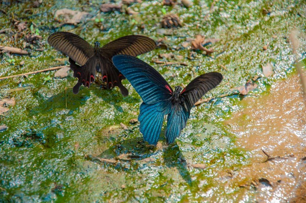 Dos mariposas de vivos coles rojos, azules y negros. Mae Hong Son, la ciudad de la niebla.