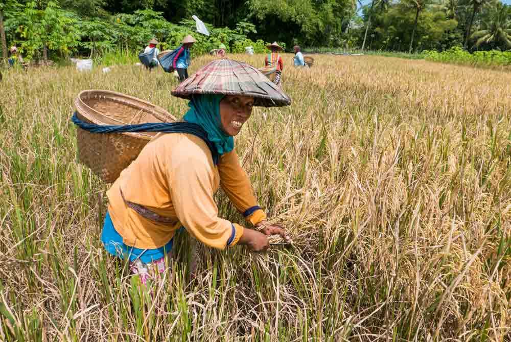 Campesinas trabajando en los arrozales. Yogyakarta