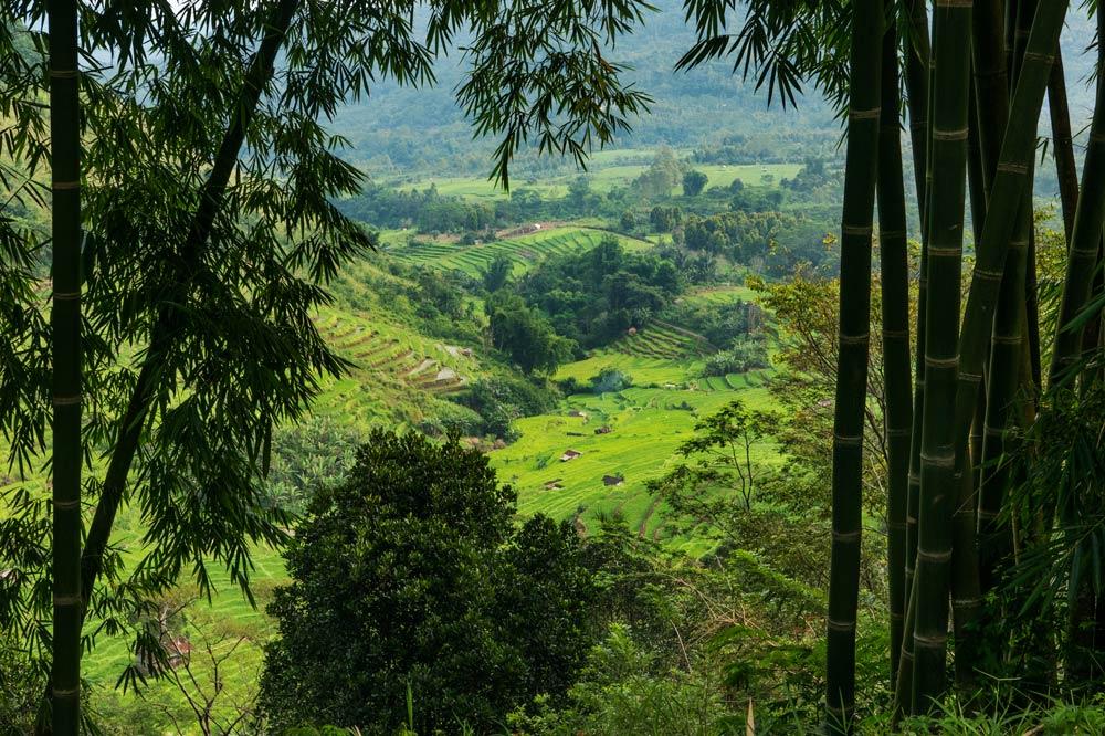 Verdes arrozales vistos desde una colina. En primer término hay unos bambúes gigantes.