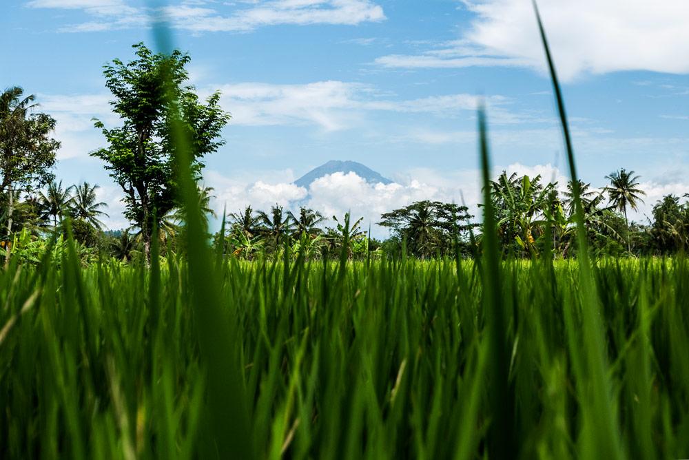 Volcán entre nubes. En primer témino se ve un arrozal verde y al fondo palmeras y el volcán imponente. Yogyakarta