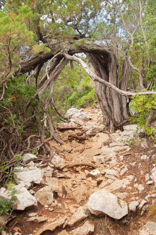 Camino de piedras. Un árbol se ha retorcido de tal forma que ha formado un arco en el camino para pasar por debajo de él. Golfo de Orosei. Cerdeña