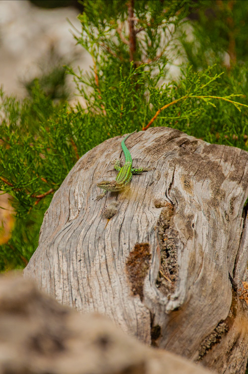 Lagartija verde con vivos colores sobre un tronco de madera. Golfo de Orosei. Cerdeña