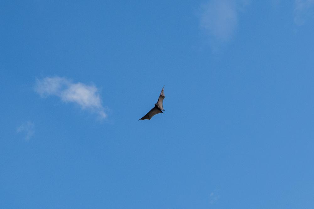 Un muerciélago sobrevuela sobre nosotros. RUTA ISLA DE FLORES. INDONESIA. VIAJE EN MOTO 5 ETAPAS