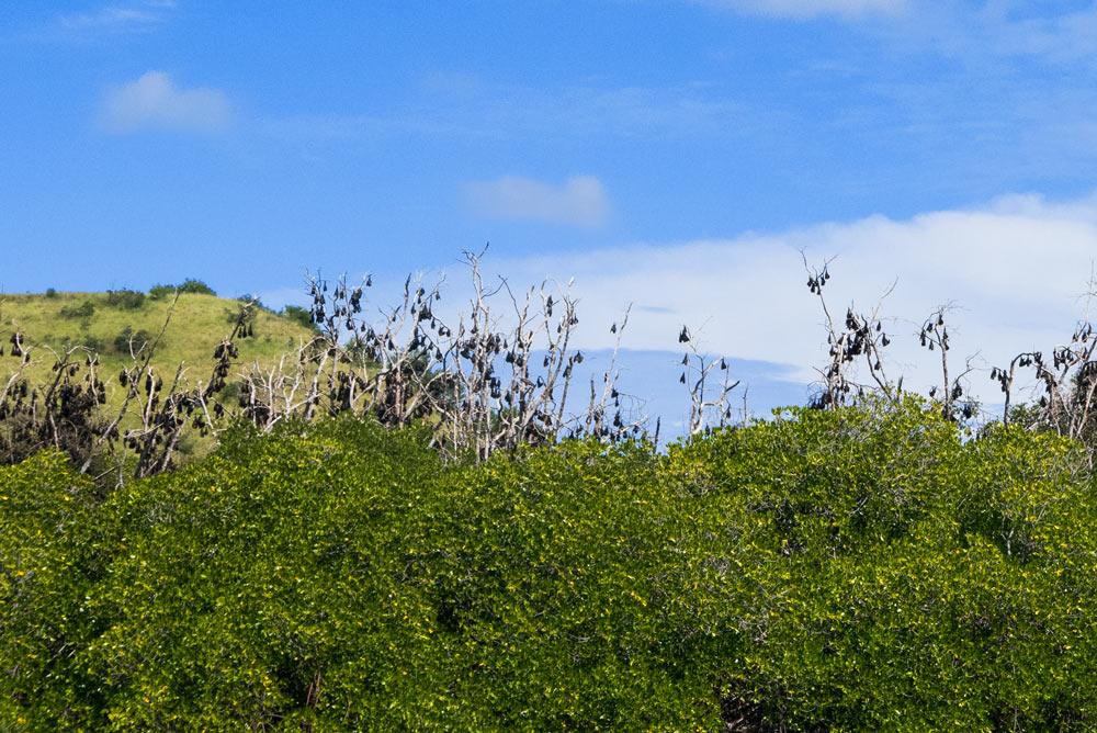Murciélagos durmiendo en los árboles. RUTA ISLA DE FLORES. INDONESIA. VIAJE EN MOTO 5 ETAPAS