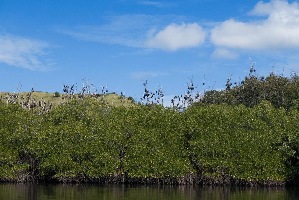 Murciélagos durmiendo en los árboles. RUTA ISLA DE FLORES. INDONESIA. VIAJE EN MOTO 5 ETAPAS.RUTA ISLA DE FLORES. INDONESIA. VIAJE EN MOTO 5 ETAPAS