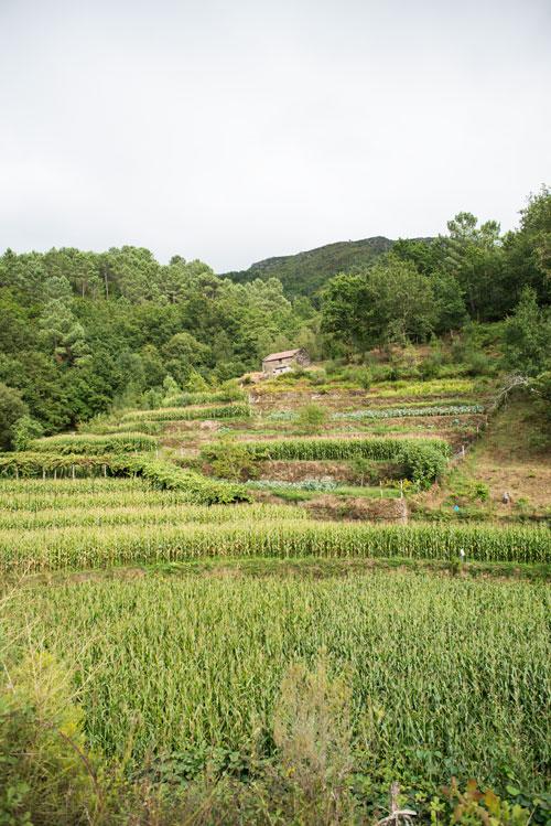 Socalcos verdes, tierras de cultivo de maiz. Sistelo. Un pequeño Tíbet en Portugal