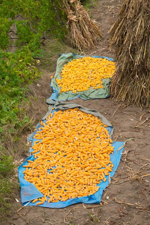 Maiz de un color amarillo intenso secando al sol. Sistelo. Un pequeño Tíbet en Portugal