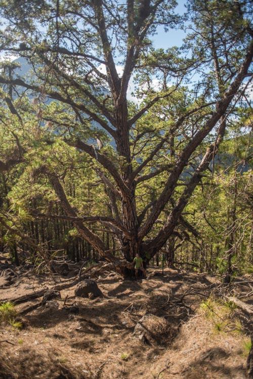 Pino gigante donde vemos como salen las ramas desde la parte baja del tronco. Perder el Rumbo