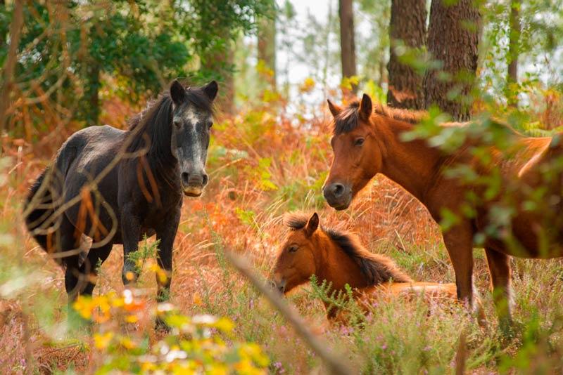 3 caballos en el Monte Aloia. Una pareja y uno más pequeño. 20 lugares que ver en Galicia imprescindibles. Perder el Rumbo
