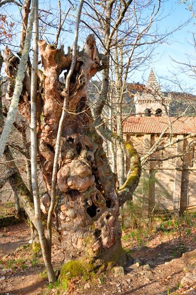 Un viejo castaño deja entrever al fondo la iglesia de Santa Cristina de Ribas de Sil en un día soleado. 20 lugares que ver en Galicia imprescindibles. Perder el Rumbo