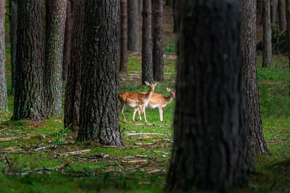 Unos gamos se asoman entre los árboles. Guía de los 6 Parques Naturales de Galicia.